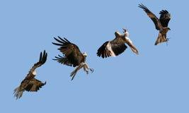Aquila durante il volo fotografia stock