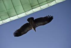 Aquila e paraglider Imagens de Stock Royalty Free