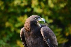 Aquila europea Fotografia Stock