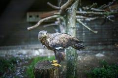 Aquila fasciata or Hieraaetus fasciatus Stock Images