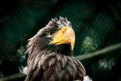 Aquila fiera Immagini Stock Libere da Diritti