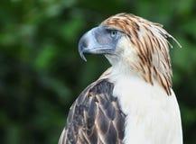 Aquila filippina Immagini Stock Libere da Diritti