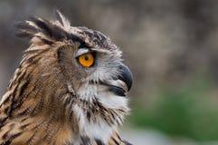 Aquila-Gufo che cerca la preda Fotografia Stock
