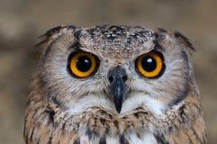 Aquila-Gufo che cerca la preda Immagini Stock Libere da Diritti