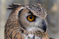 Aquila-Gufo che cerca la preda Immagine Stock Libera da Diritti