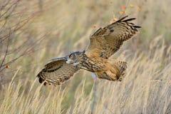 Aquila-Gufo del Eurasian di volo fotografia stock libera da diritti
