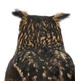Aquila-Gufo euroasiatico, bubo del Bubo, 15 anni Immagine Stock Libera da Diritti