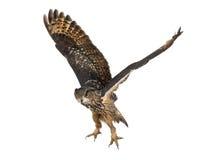 Aquila-Gufo euroasiatico, bubo del Bubo, 15 anni Fotografie Stock Libere da Diritti