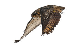 Aquila-Gufo euroasiatico, bubo del Bubo, 15 anni Fotografie Stock