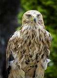 Aquila imperiale Aquila Heliaca Fotografie Stock