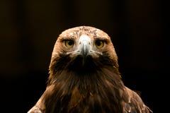 Aquila imperiale orientale Immagine Stock