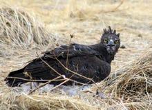 Aquila marziale con la preda in Namibia Fotografie Stock