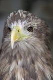 Aquila munita bianca Fotografie Stock