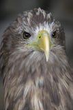 Aquila munita bianca Fotografia Stock