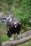 Aquila munita cuneo Fotografia Stock Libera da Diritti