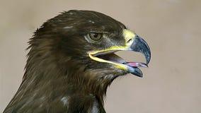 aquila najlepszy ptasi orła nipalensis zdobycza rapax step zdjęcie stock