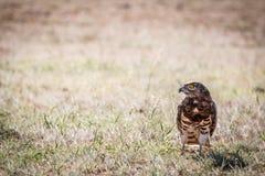 Aquila Nero-chested giovanile del serpente nell'erba immagine stock libera da diritti