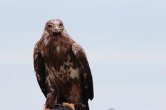 Aquila nipalensis Stockfotografie