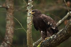 Aquila nipalensis. It is expanded in Russia, Africa, Central Asia, Arabia, India, Mongolia and China. royalty free stock photo