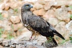Aquila piantata Short (gallicus del circaetus) Immagine Stock