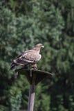 Aquila rapace che si siede davanti agli alberi Fotografie Stock Libere da Diritti