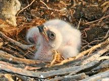 Aquila rapace degli uccellini implumi Fotografia Stock Libera da Diritti