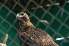 Aquila rapace dietro il primo piano della grata allo zoo immagini stock
