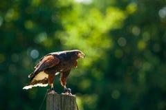 Aquila rapace su una posta di legno fotografia stock