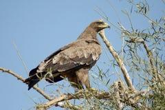 Aquila rapace VIGILANTE a PERIFERIA BIKANER di JORBEER immagini stock