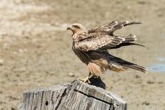 Aquila rapax (καστανόξανθος αετός) Στοκ φωτογραφία με δικαίωμα ελεύθερης χρήσης