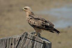 Aquila-rapax (gelb-brauner Adler) Lizenzfreie Stockfotografie