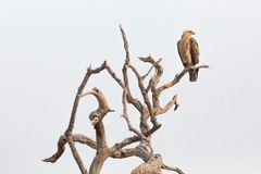 Aquila rapax perched on a branch Stock Photography