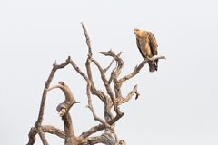 Aquila rapax perched on a branch Royalty Free Stock Photo