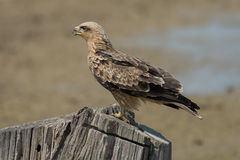Aquila rapax (Tawny eagle) Royalty Free Stock Photography