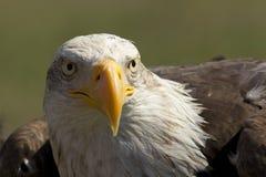 Aquila reale Immagine Stock
