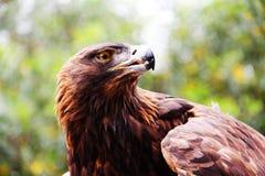 Aquila reale 2 Immagine Stock Libera da Diritti