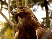 Aquila reale Fotografia Stock