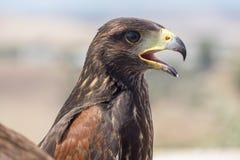 Aquila reale che riposa al sole con il becco aperto fotografie stock libere da diritti