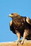 Aquila reale che si siede su una pertica fotografia stock