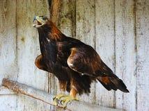 Aquila reale (chrysaetos di L'Aquila) Fotografie Stock