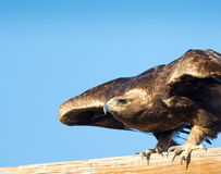 Aquila reale, circa decollare fotografia stock