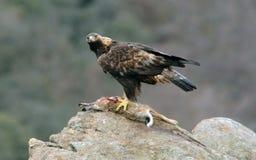 Aquila reale con una diga sulla roccia Fotografia Stock Libera da Diritti