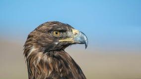 Aquila reale del Kirghizistan Immagini Stock Libere da Diritti