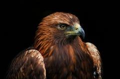 Aquila regale Fotografia Stock