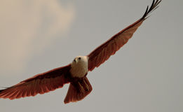 Aquila scivolante Fotografia Stock Libera da Diritti