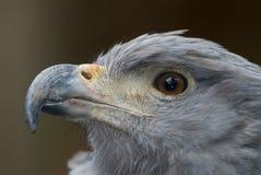 Aquila solitaria incoronata (coronatus di Harpyhaliaetus) Fotografia Stock Libera da Diritti