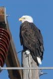 Aquila su potenza palo Fotografia Stock Libera da Diritti