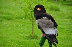 Aquila Terathopius ecaudatus/di Bateleur Fotografia Stock