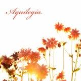 Aquilegia在白色背景的阳光下 免版税库存照片