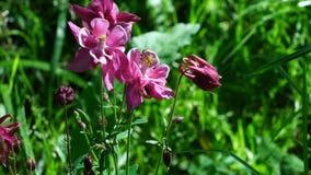 Aquilegia桃红色花在绿草背景的  影视素材